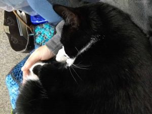 Tuxedo cat curled up in arms of person wearing grey hoodie. On person's lap is a crochet blanket.